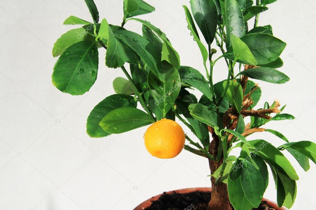 Tangerine tree, mandarin fruit with water drops