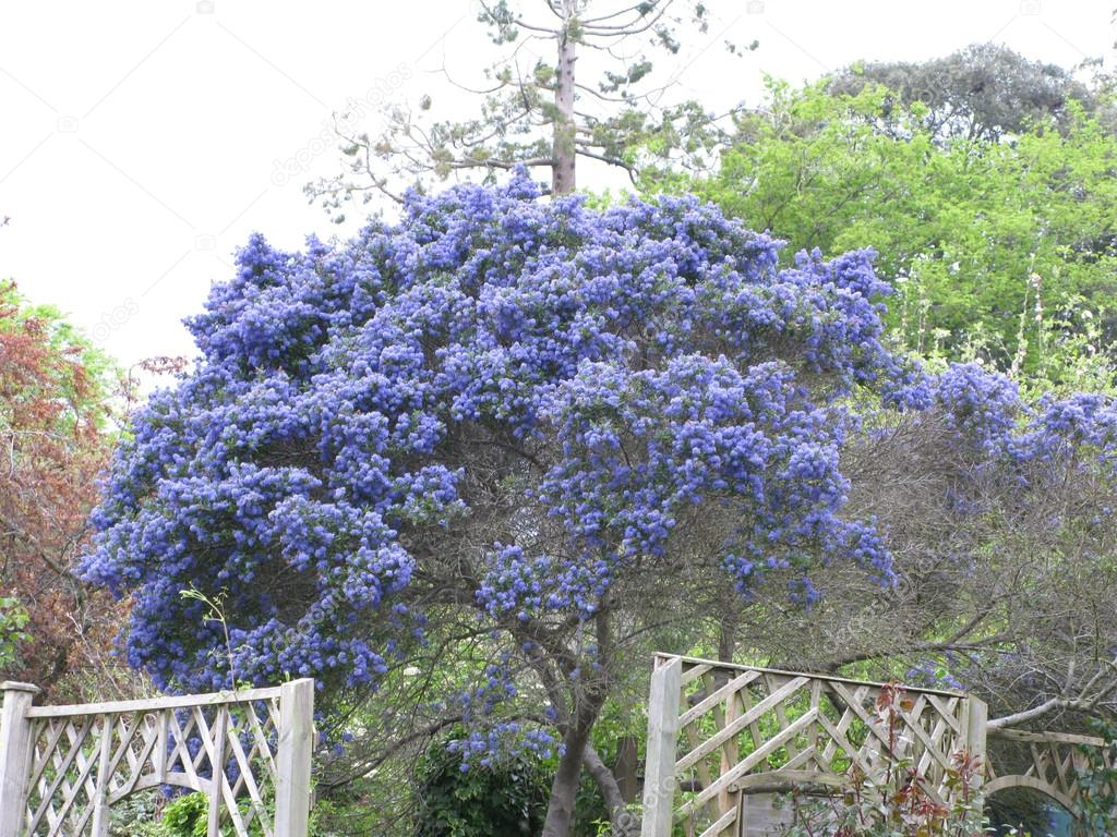 Blue flowered tree stock photo panmaule 62567497 a beautiful blue ceanothus tree also known as a californian lilac blooms in a country garden in england photo by panmaule izmirmasajfo