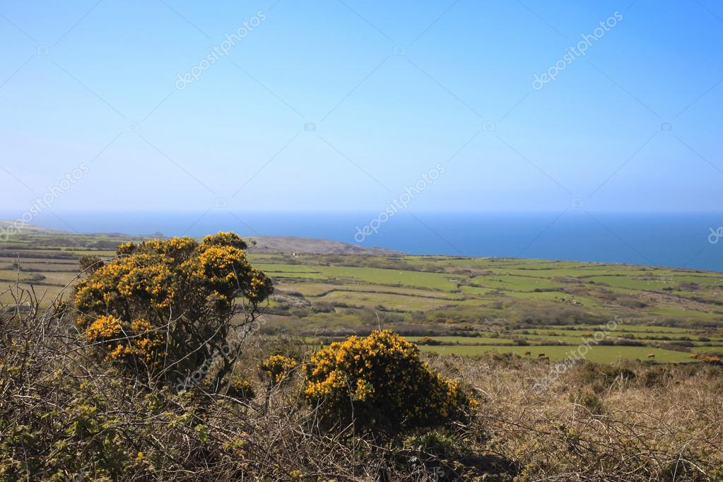 Gorse bushes and Cornish fields