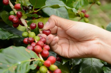 From coffee beans