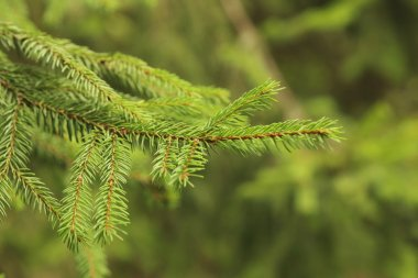 Green spruce branche