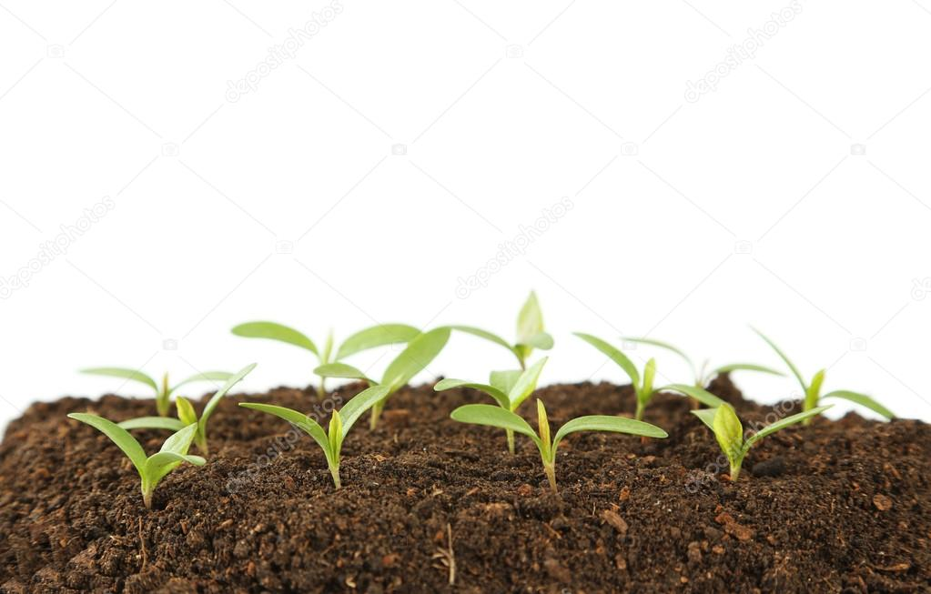 Young green plants in soil