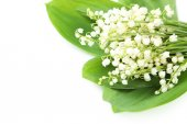 Lily of the Valley with leaves