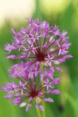 Fotografie krásný fialový jarní květiny