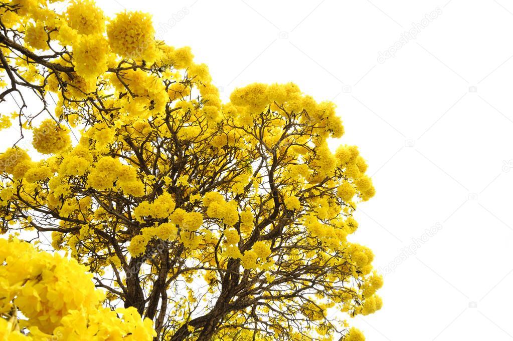Arbre Fleur Jaune Photographie Tinna2727 C 68122757