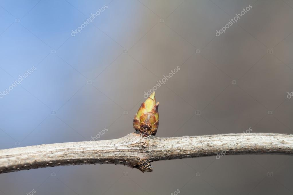 Macro view tree bud. Tree branch texture. copy space. Blue and gray background, soft focus, shallow depth of field.