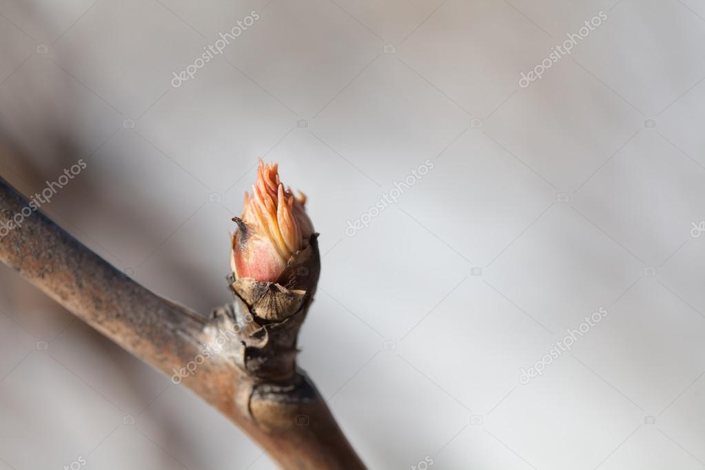Spring bud macro view. Budding tree with red young leaf. copy space. Soft focus, shallow depth of field.