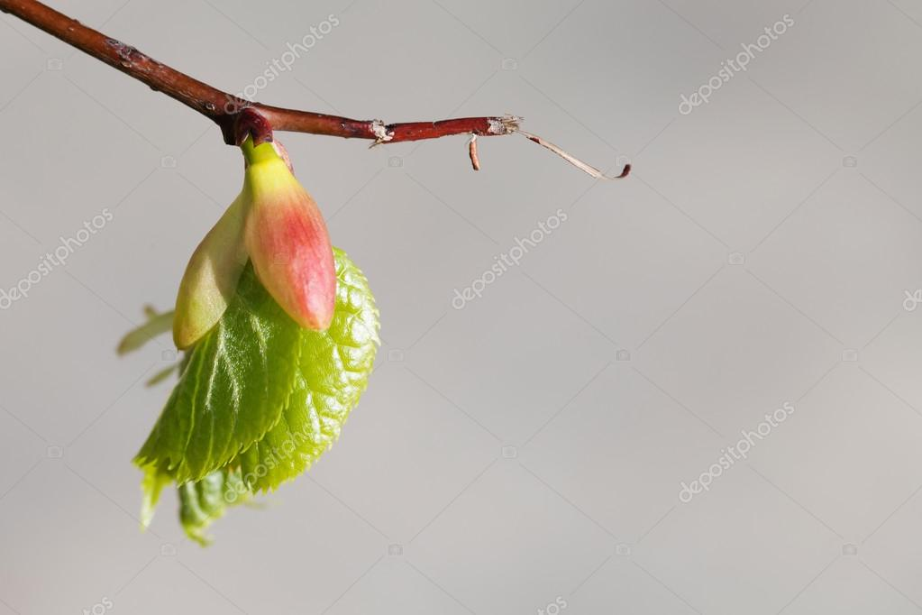 Linden tree bud, embryonic shoot with fresh green leaf. macro view branch, gray background. spring time concept, soft focus