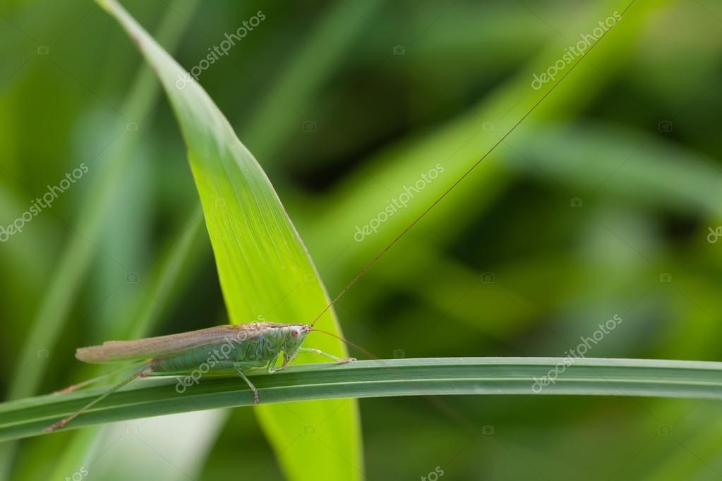 Grasshopper on a grass plant. Great Green Bush-Cricket Tettigonia viridissima. insect macro view, shallow depth of field, horizontal photo