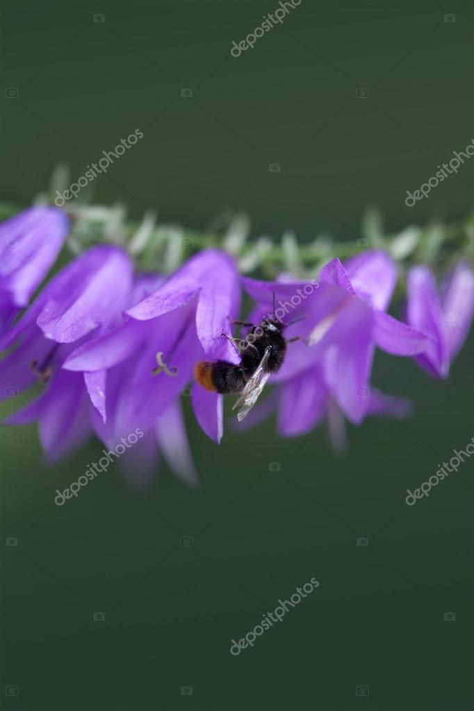 Bumble bee on the Bell flower. Small violet flowers on the stem.