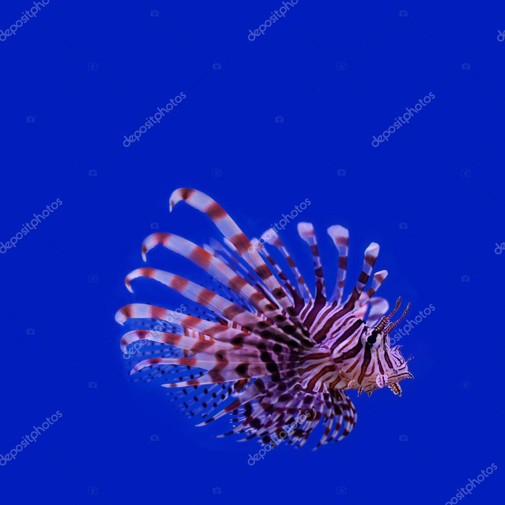 Red lionfish. Pterois miles. poisonous ocean fish. blue background. soft focus, copy space.