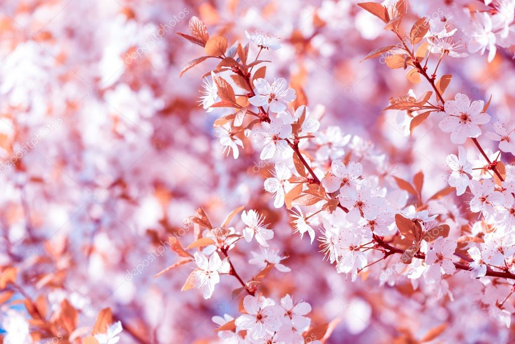 Beautiful Flowering Plum Trees Background With Blooming Flowers In