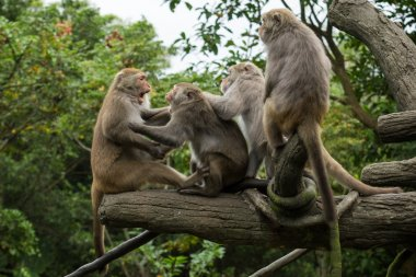 Group of fierce Formosan Macaque monkeys