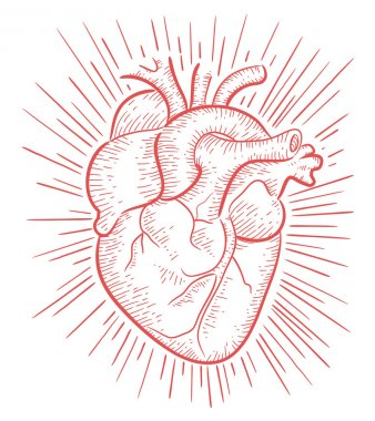 Human heart hand drawn