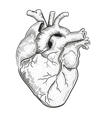 Human heart. illustration.