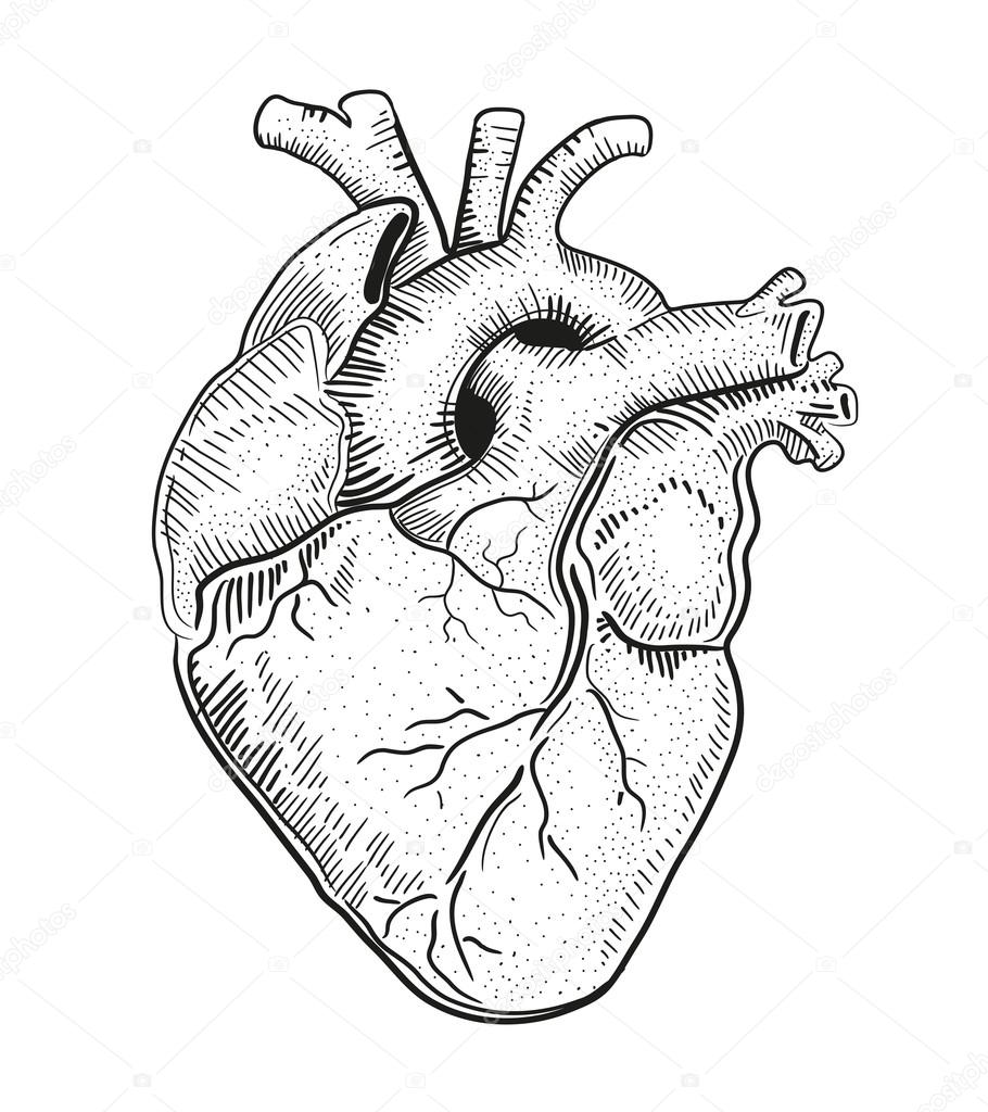 human heart. illustration. — stock vector © bernardojbp #64853695, Muscles
