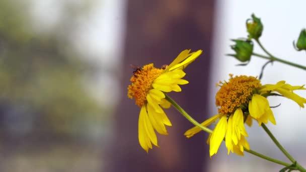 Medová včela sbírá pyl na žluté řepce. Včely v práci. pozadí slunečnice včelí žlutý květ. včelí opylení žluté divoké květiny orizontal fotografie