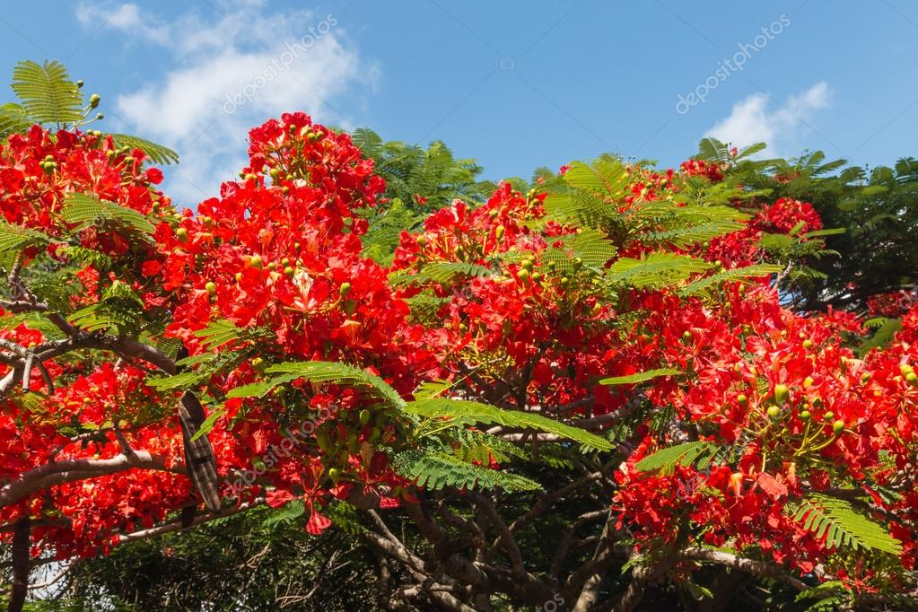 Imágenes árboles De Flores Rojas Acacia árbol De Flores Rojas