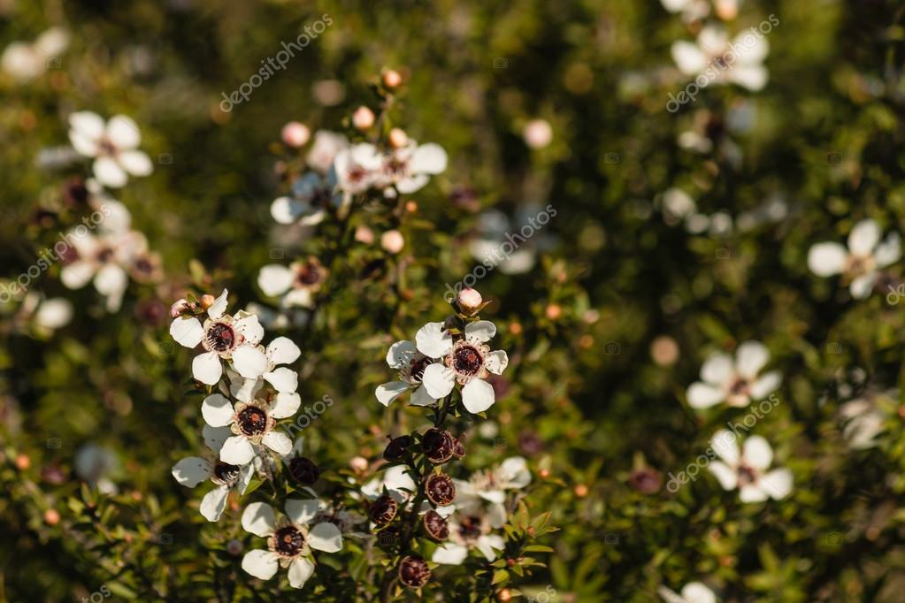 manuka flowers in bloom