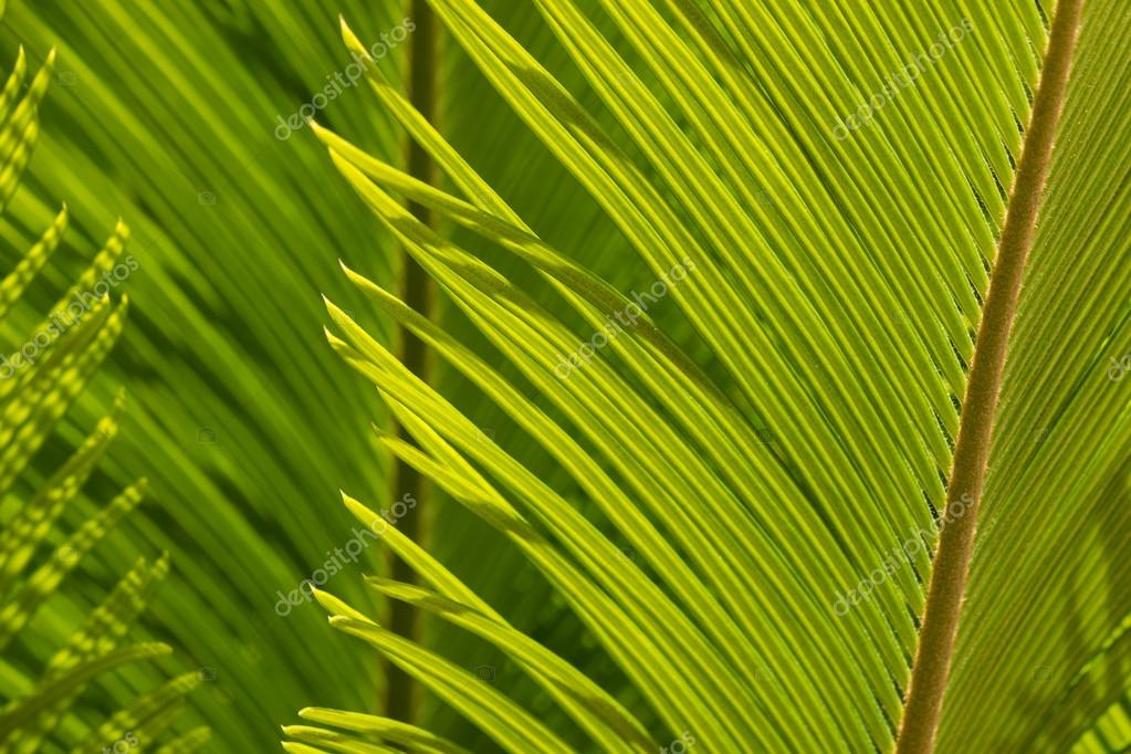 closeup de folha de palmeira de cycad stock photo pstedrak 82828598. Black Bedroom Furniture Sets. Home Design Ideas