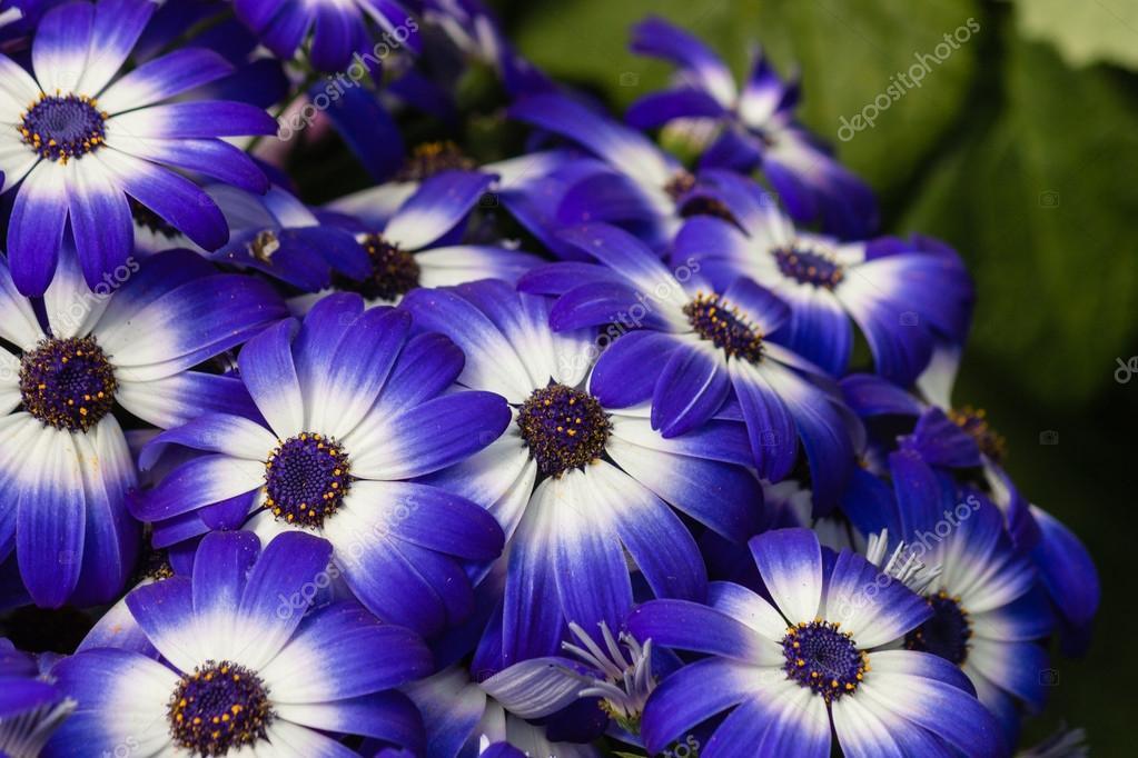 Osteospermum blaue und weiße Blumen — Stockfoto © pstedrak #88723884