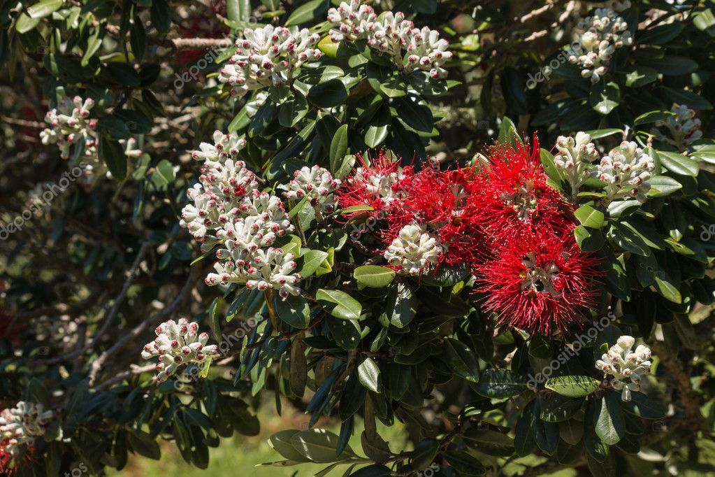 New Zealand Christmas Tree Flowers Stock Photo C Pstedrak 88750450