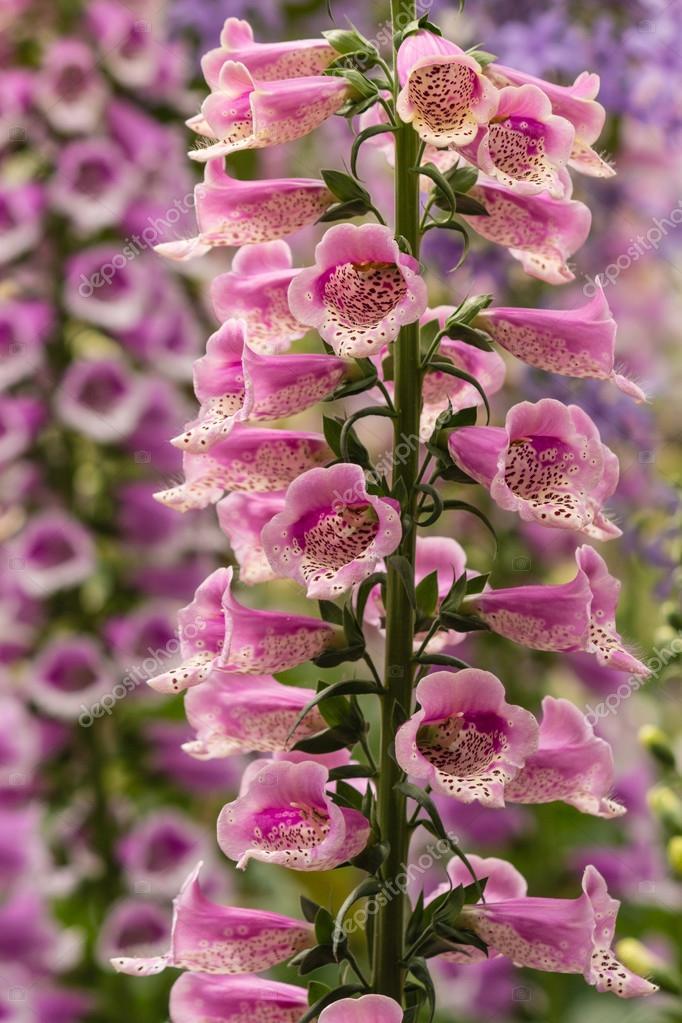 Pink Foxglove Flowers Stock Photo Pstedrak 89733500