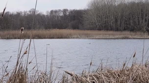 Kachny plavající na jezeře