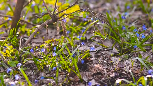 Blue snowdrops growing in the forest