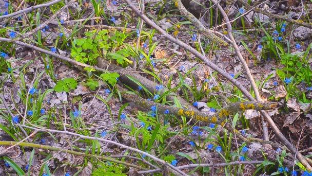 Modré sněženky v podzimní glade