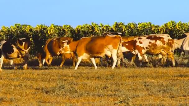 Mucche con i girasoli