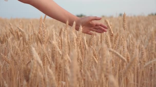 Hand of a young woman farmer walking along a grain field and touches hand with ripe spikelets of wheat. Concept of harvesting, agriculture and prosperity. Agricultural business. Slow motion. close-up.
