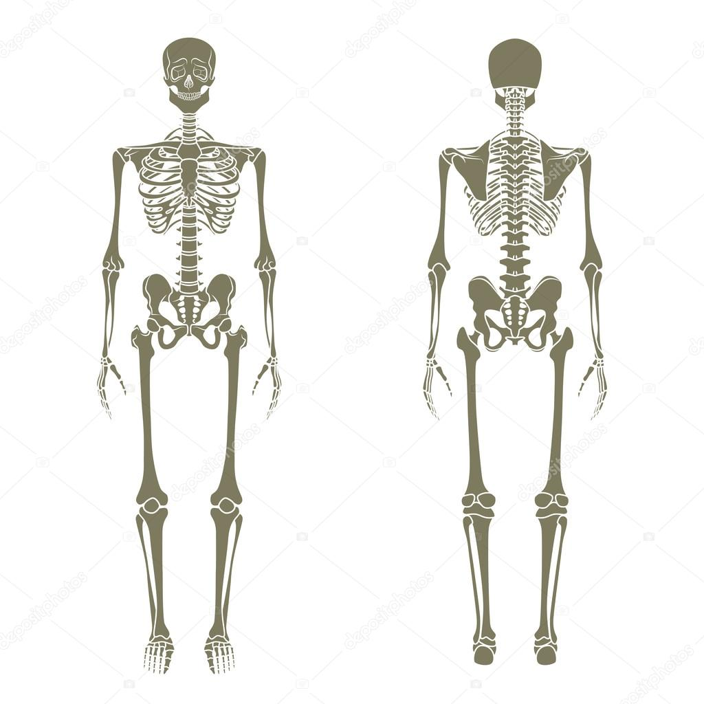 Human Skeleton Didactic Board Of Anatomy Of Human Bony System The