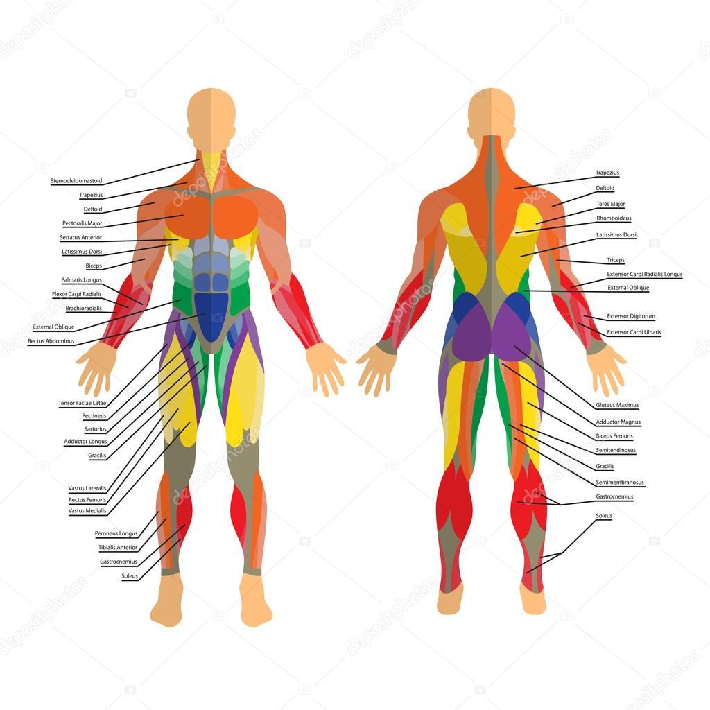 Detaillierte Darstellung der menschlichen Muskeln. Übung und Muskel ...