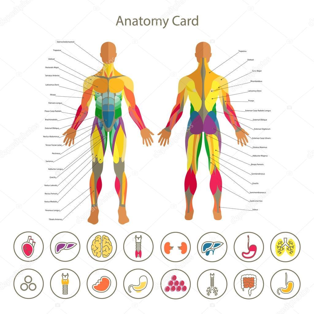 Anatomía del sistema muscular masculino. Vista delantera y trasera ...
