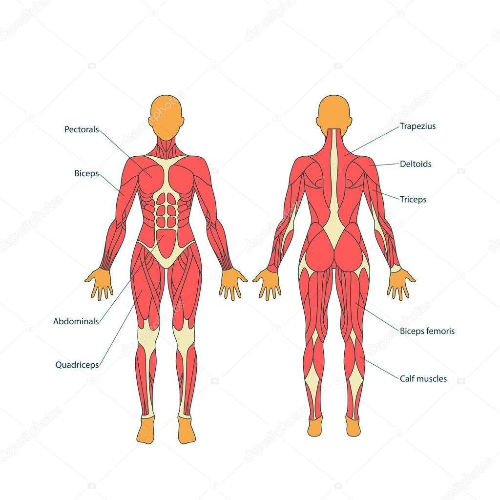 Illustration Of Human Muscles The Female Body Gym Training Front