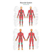 polygonal anatomy of female muscular system, exercise and muscle, Muscles