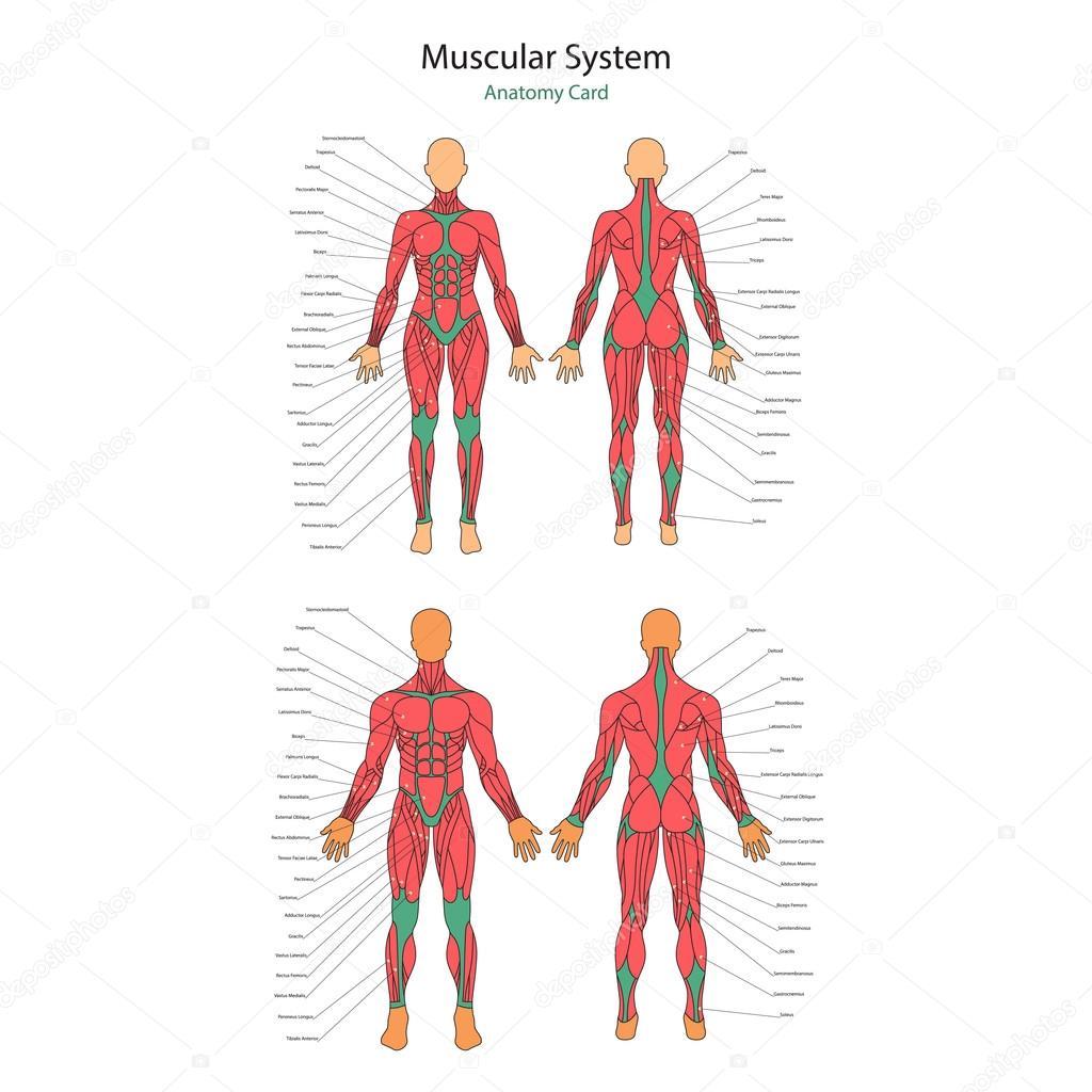 Ilustración de los músculos humanos. Cuerpo femenino y masculino ...