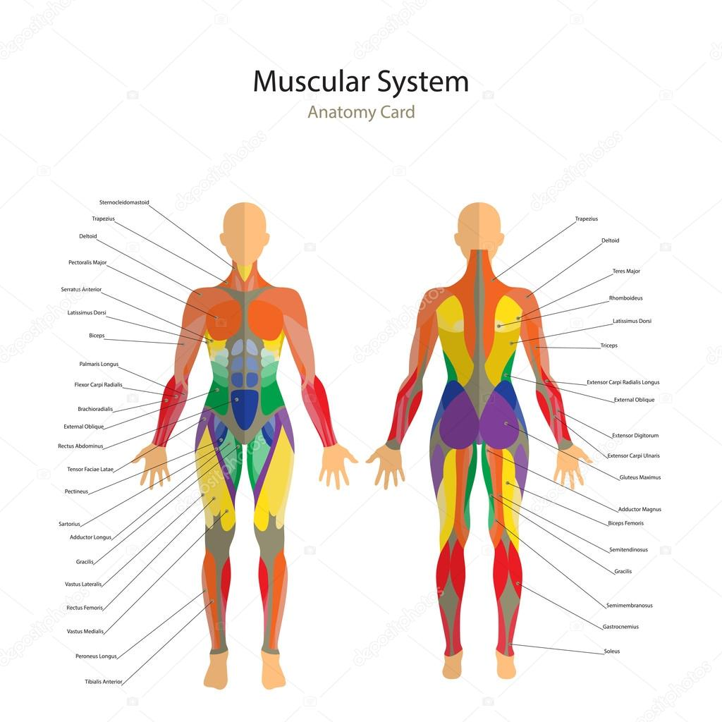 Illustration of human muscles. The female body. Gym training. Front ...
