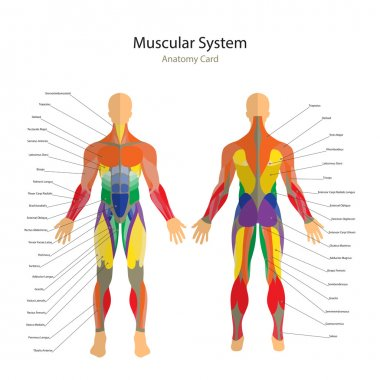 Illustration of human muscles. Exercise and muscle guide. Gym training. Front and rear view. Muscle man anatomy.