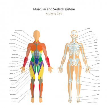 Anatomy guide. Female skeleton and muscles map with explanations. Front view.