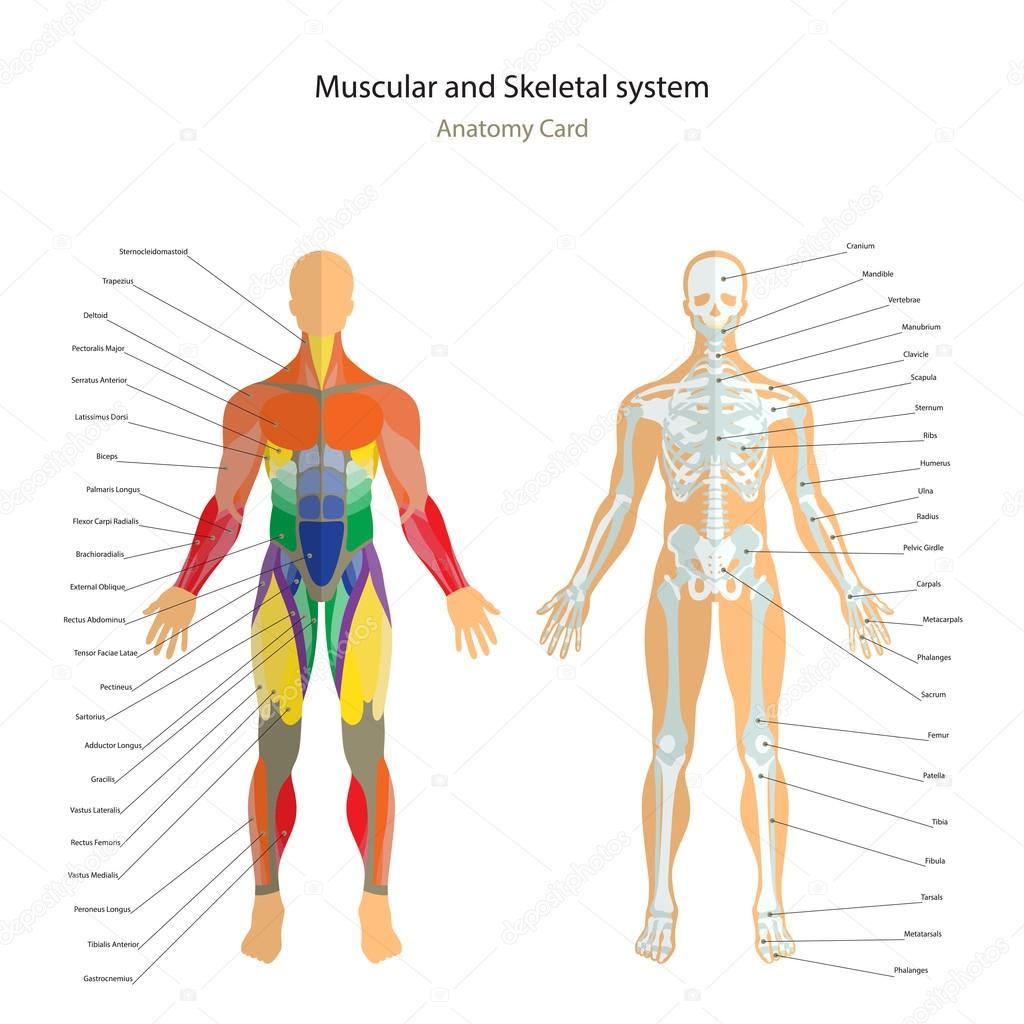 Anatomie-Führer. Männliche Skelett und Muskeln-Karte mit Erklärungen ...