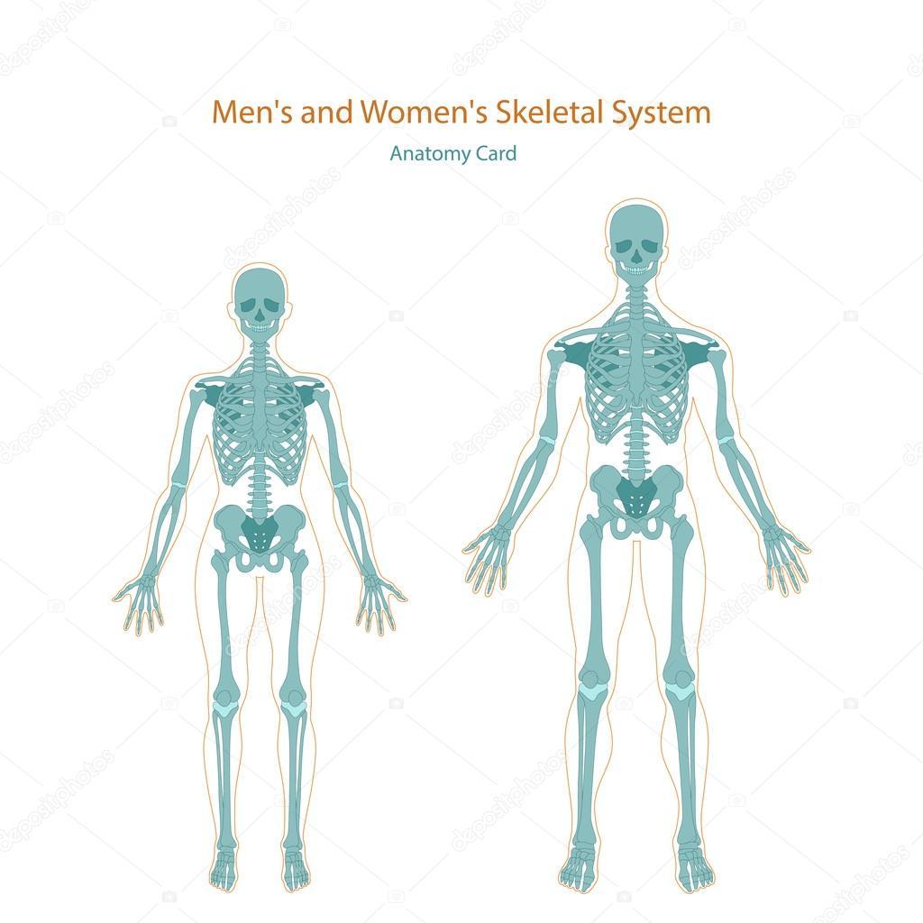 Anatomie-Führer. Männliche und weibliche Skelett. Vorderansicht ...