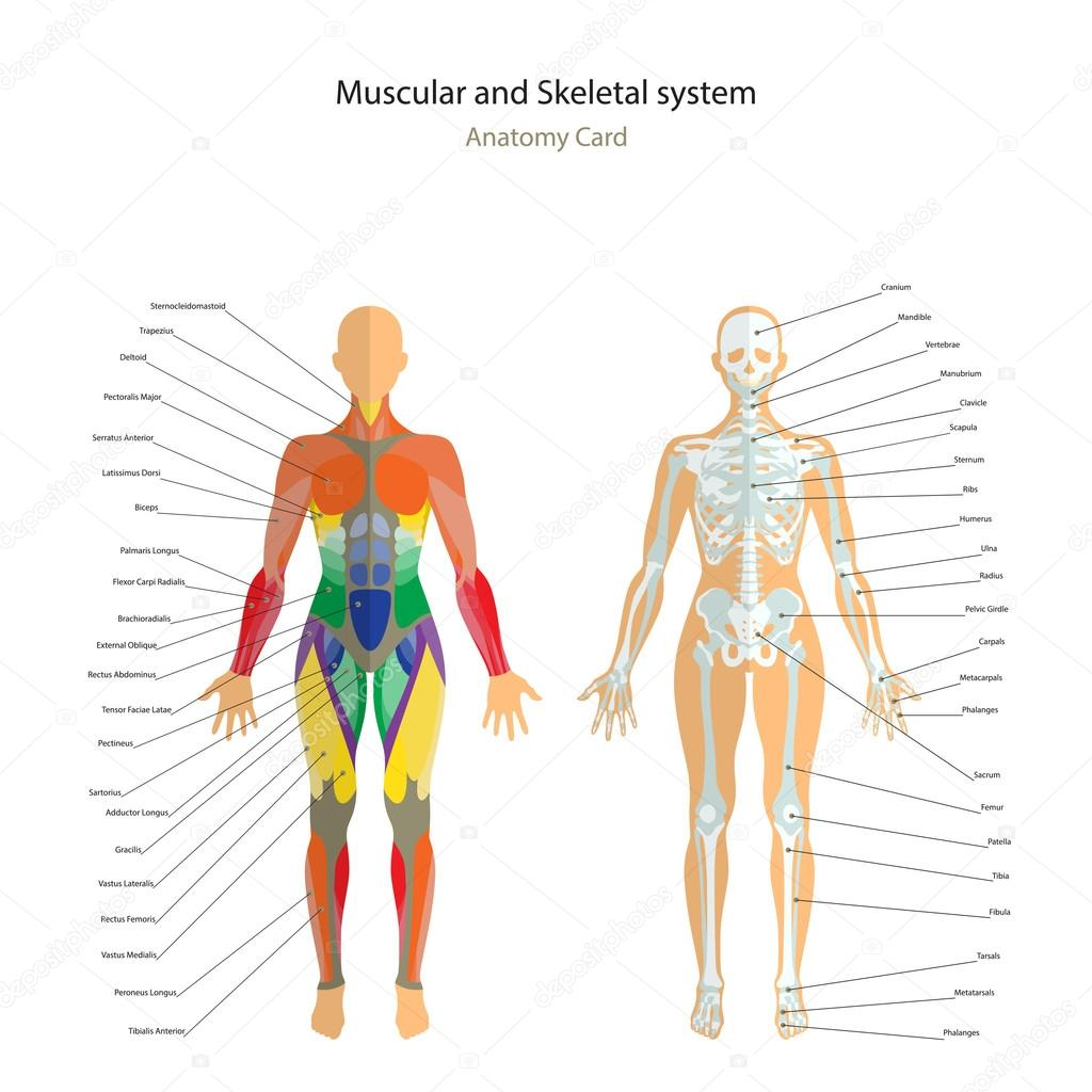Anatomy Guide Female Skeleton And Muscles Map With Explanations