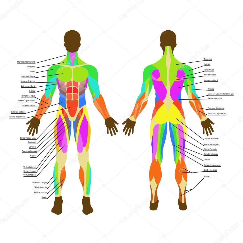 人間の筋肉の詳細なイラスト運動と筋肉のガイドジムのトレーニング