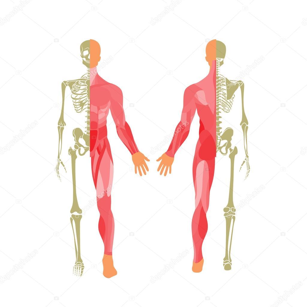 Sistema ósseo e muscular humano. Vista frontal e traseira. Placa de ...