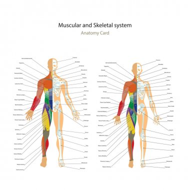Male and female muscle and bony system charts with explanations. Anatomy guide of human physiology.