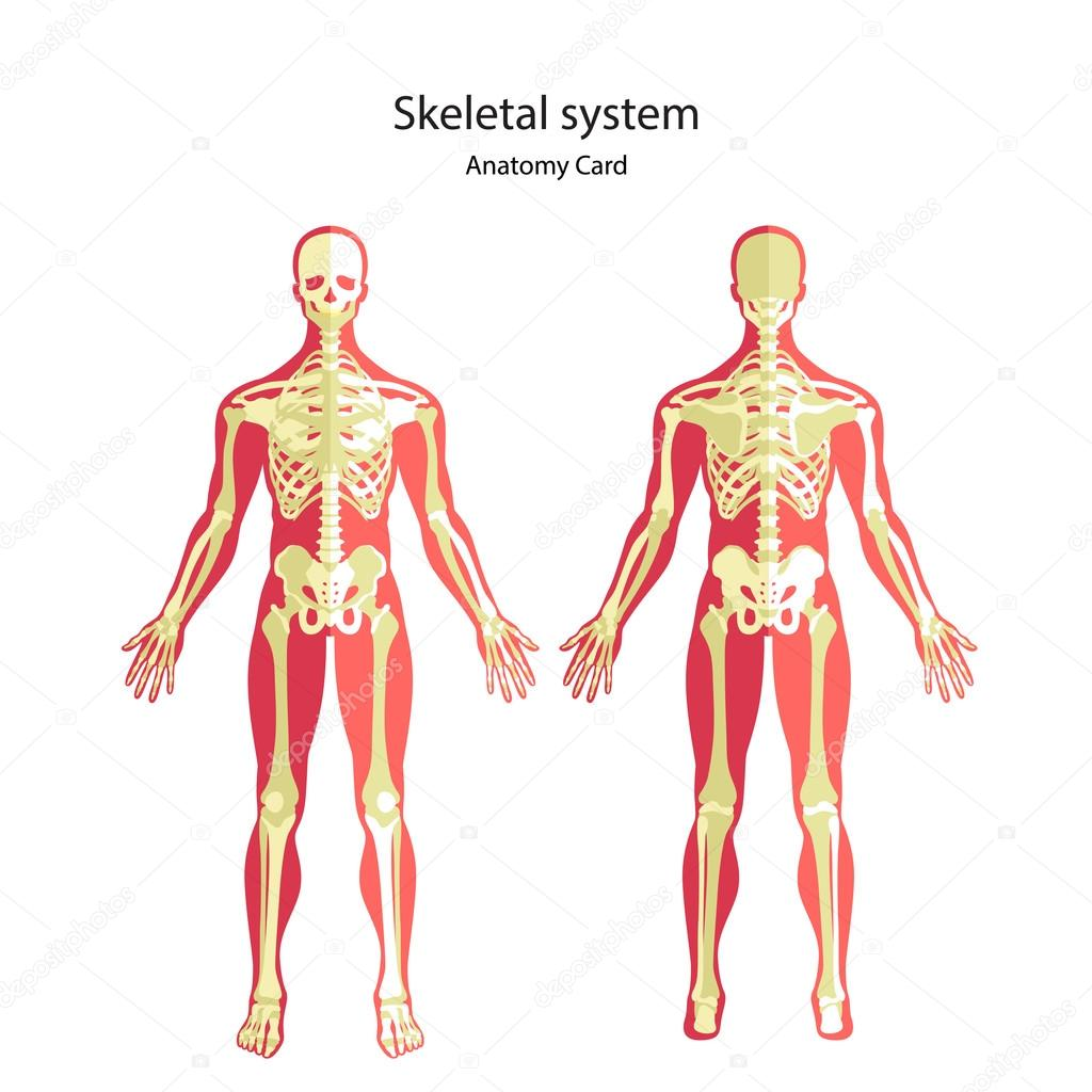 Leitfaden der Anatomie des menschlichen Skeletts. Anatomie ...
