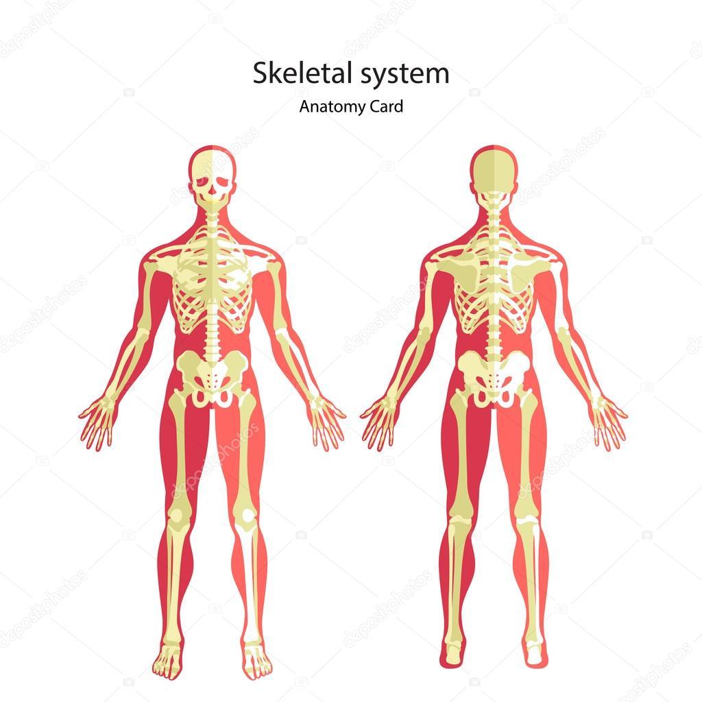 Anatomy Guide Of Human Skeleton Anatomy Didactic Board Of Human