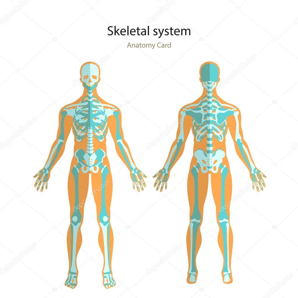 Guía de anatomía del esqueleto humano. Tablero didáctico de anatomía ...